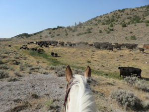 Gap Year Cowgirl moving cattle at HorseWorks Wyoming