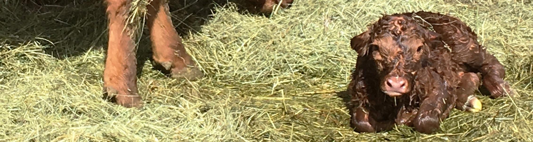 IMG_1202_Becka-Brody-ca_Cow & calf-c